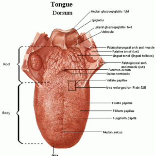 Human-Diagram-of-The-Tongue-Anatomy-photo